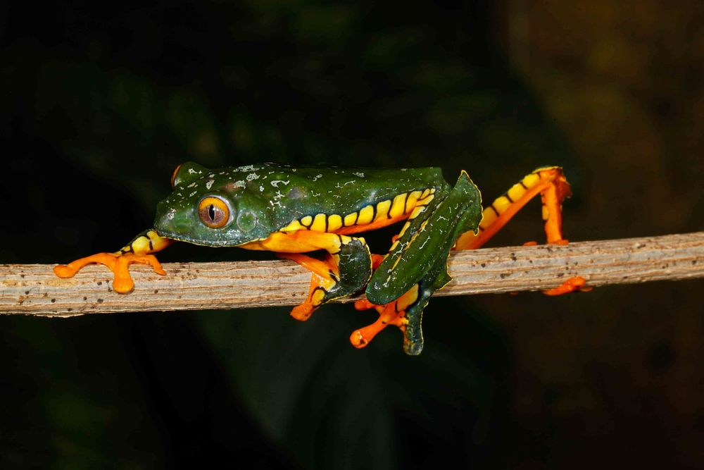 Cruziohyla calcarifer, Amazon Leaf Frog (Photo by Matt Cage)