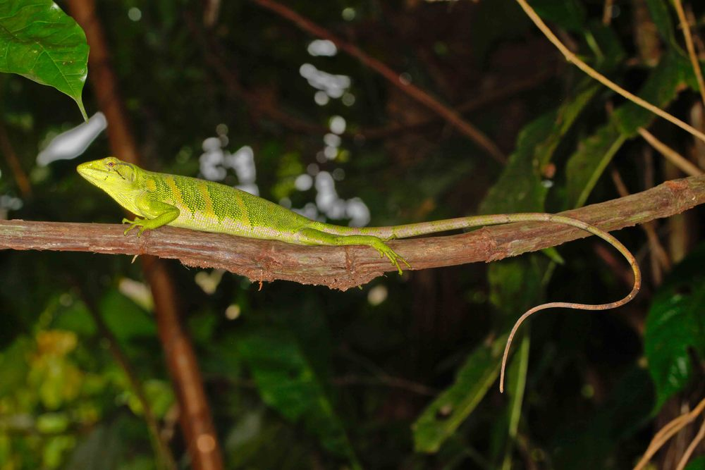Polychrus marmoratus, Amazon Monkey Lizard (Photo by Matt Cage)