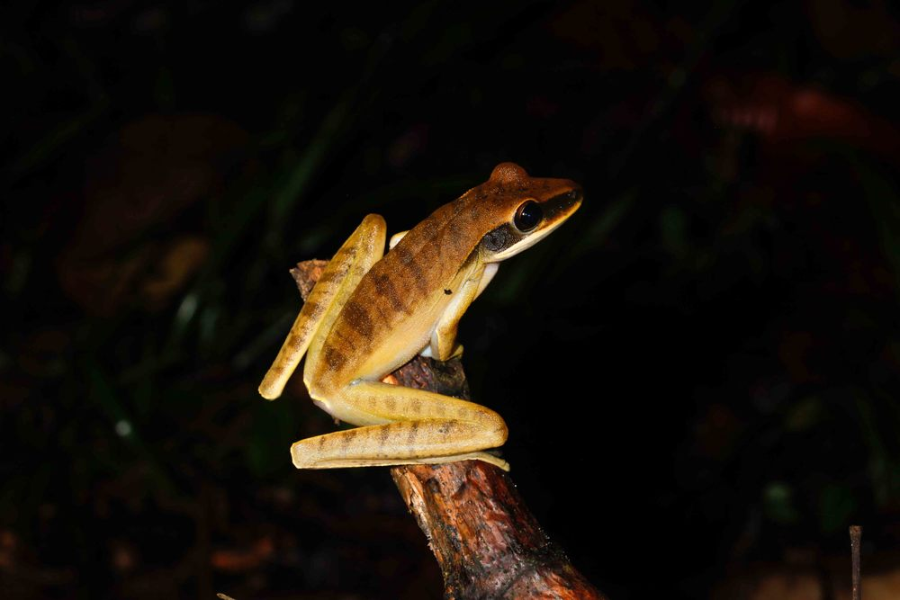 Hypsiboas lanciformis, Rocket Treefrog (Photo by Matt Cage)