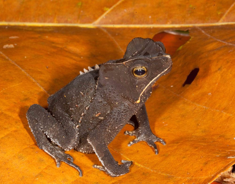 Rhinella margaritifera, Crested Forest Toad (Photo by Matt Cage)