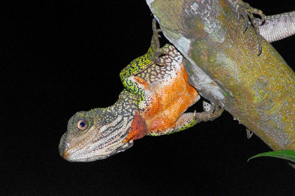 Enyalioides laticeps, Amazon Forest Dragon (Photo by Matt Cage)