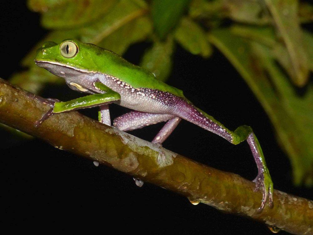 Phyllomedusa vaillanti, White Lined Monkey Frog (Photo by Matt Cage)