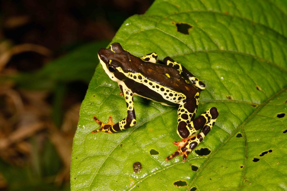 Atelopus spumarius, Amazon Harlequin Toad (Photo by Matt Cage)