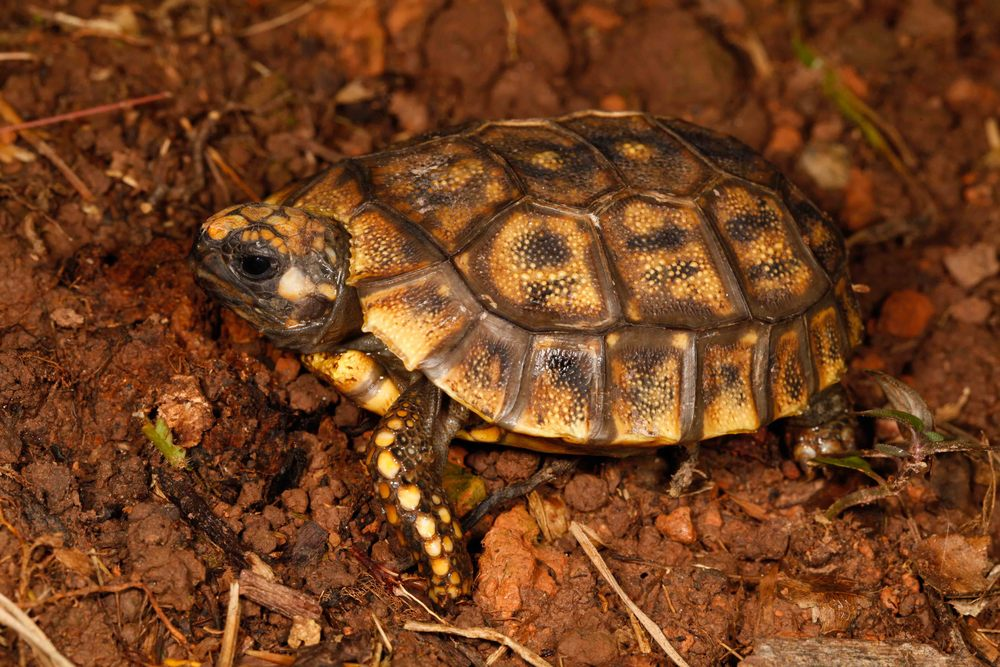 Chelonoidis denticulatus, Yellow Foot Tortoise (Photo by Matt Cage)