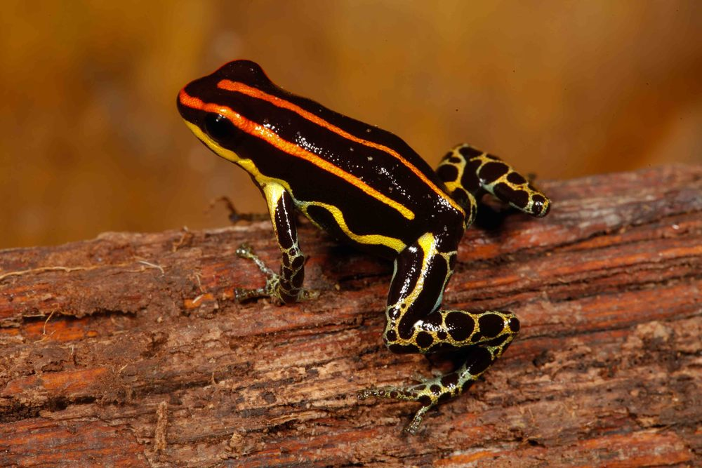 Ranitomeya uakarii, Peruvian Amazon Poison Frog (Photo by Matt Cage)