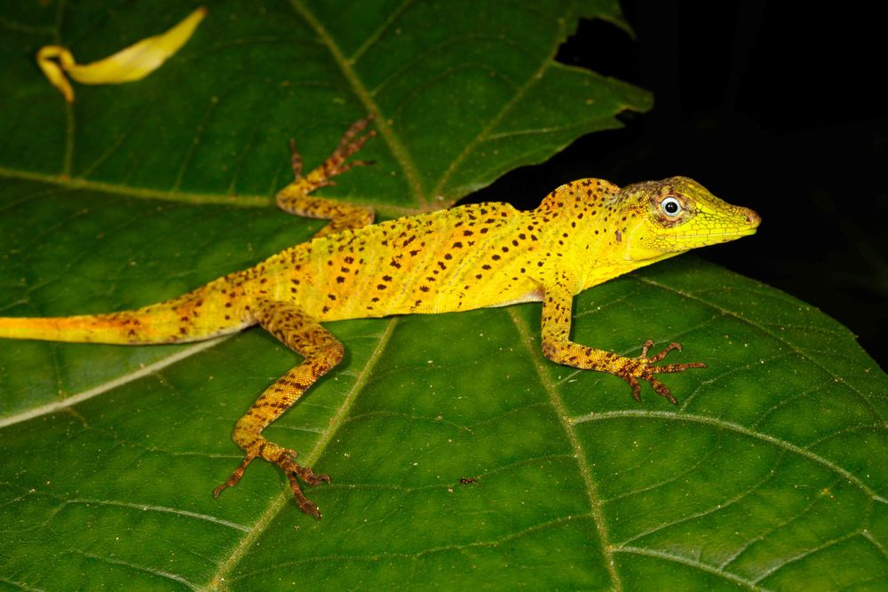 Anolis transversalis, Banded Tree Anole (Photo by Matt Cage)