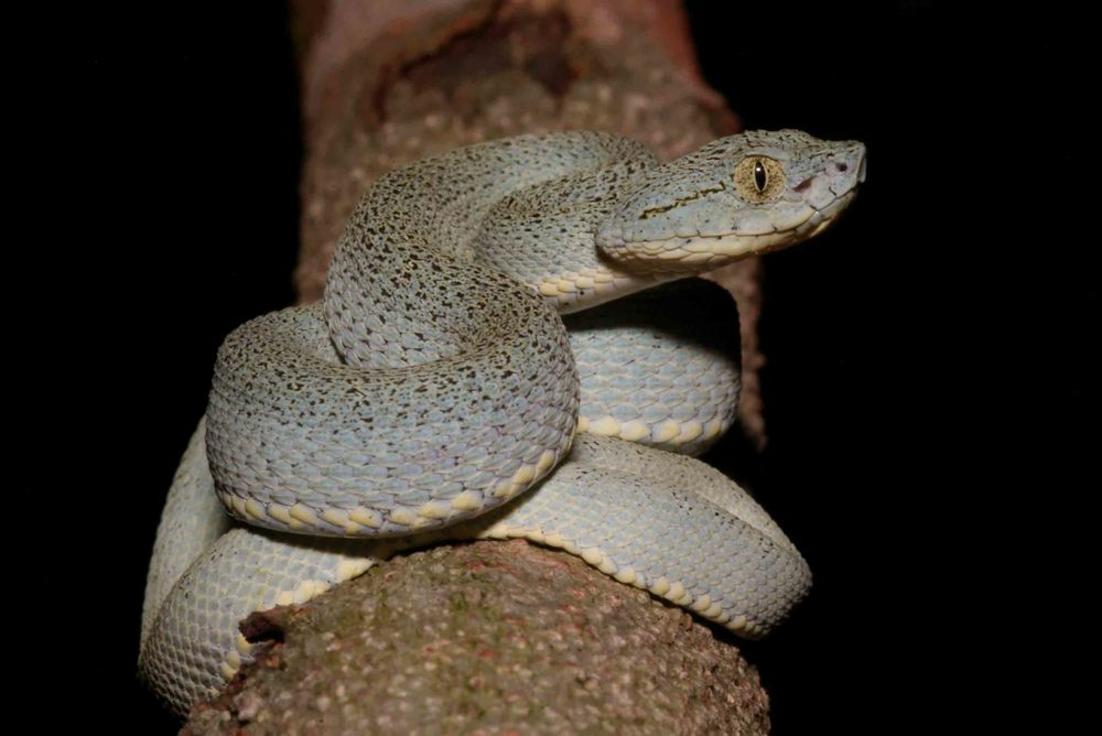 Bothrops bilineata smaragdina, Western Striped Forest Viper (Photo by Matt Cage)