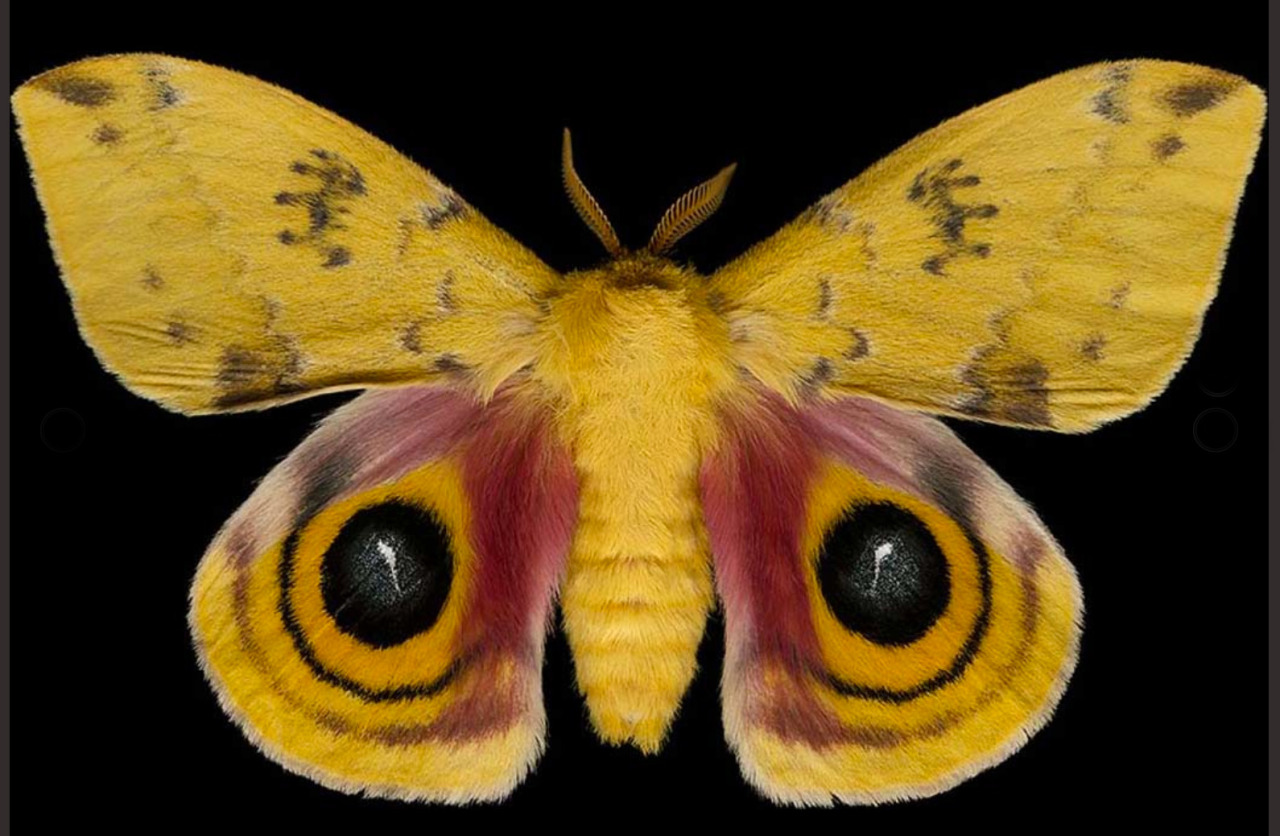 Beautiful photos of moths by Jim Des Rivieres    http://moths.ca        Winged Tapestries: Moths at Large   American Museum of Natural History    http://www.amnh.org/calendar/winged-tapestries-moths-at-large
