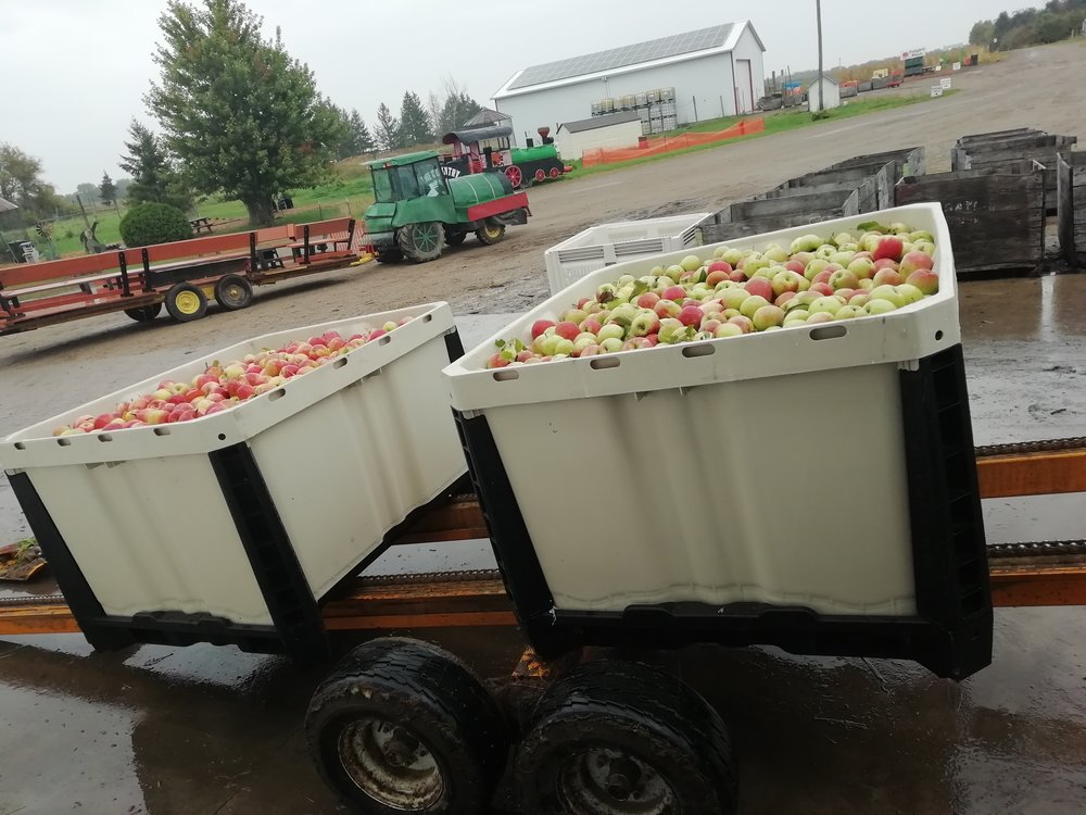 JMT US_CA Bin 730_Apples harvest.jpg