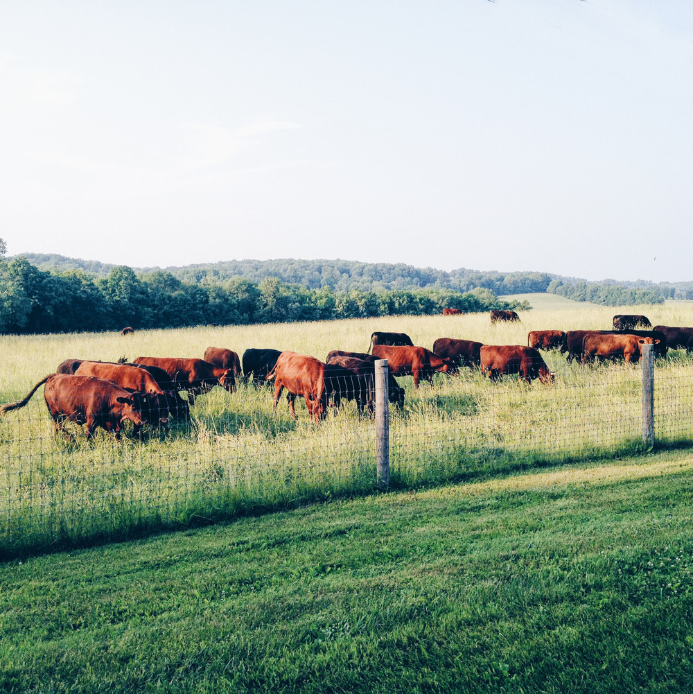 wyebrook cattle