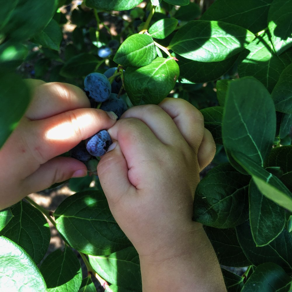 Weaver's Orchard Blueberry Picking