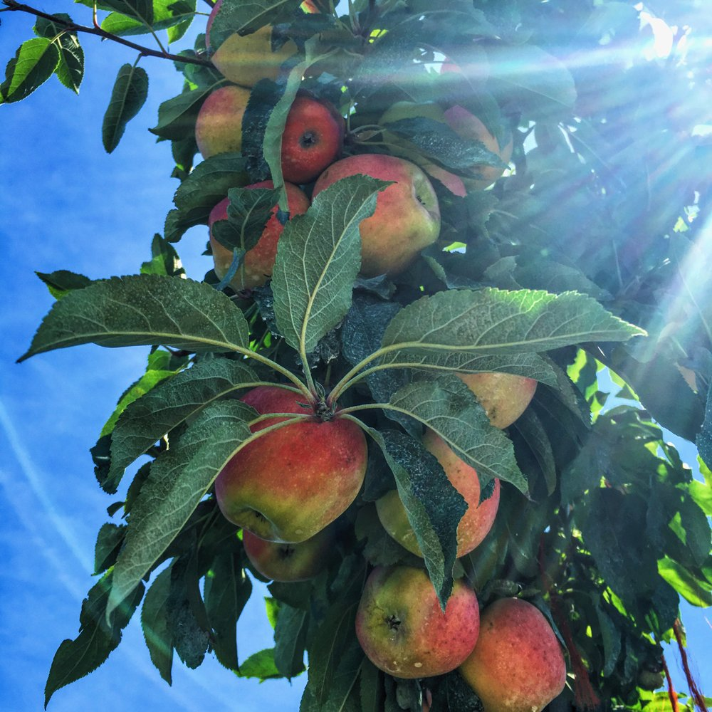 Weaver's Orchard Apples