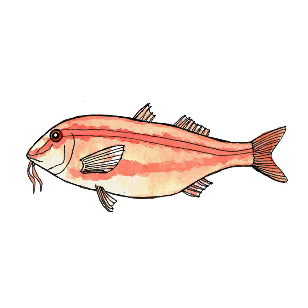 RED MULLET // Salmonete