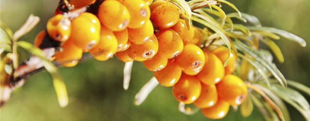 sea-buckthorn.jpg
