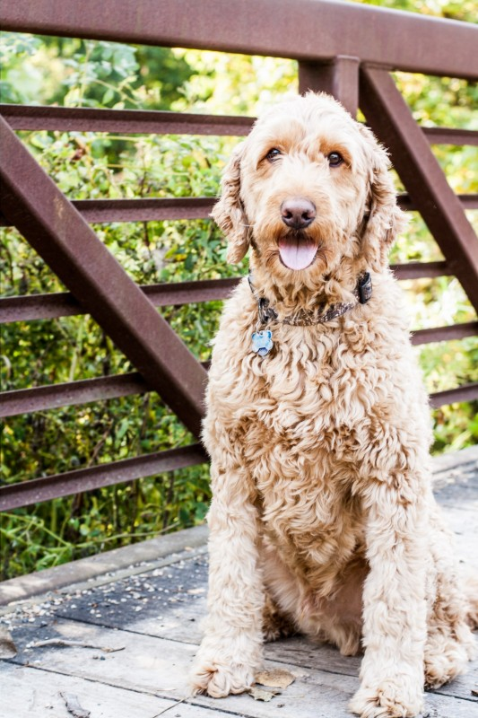 Initial Request for Custom Clip Art - Brittany: Hi, My name is Brittany and I'm the owner/writer at spencerthegoldendoodle.com. I recently switched my blog over from blogspot to wordpress and would love a new custom logo for my new site!I would like the bandana to be blue/light blue (close to the color scheme of his website).Lauren: Hi Brittany! Of course, I'd love to help you with this design. :)Brittany: Wonderful! Look forward to working with you.