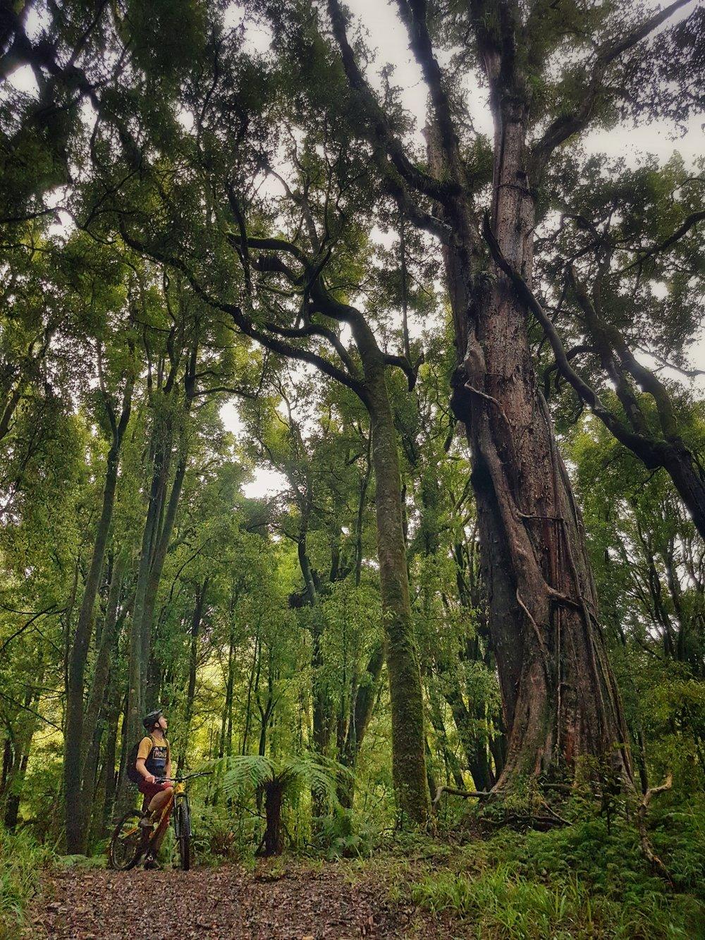 Whirinaki Forest2.jpeg