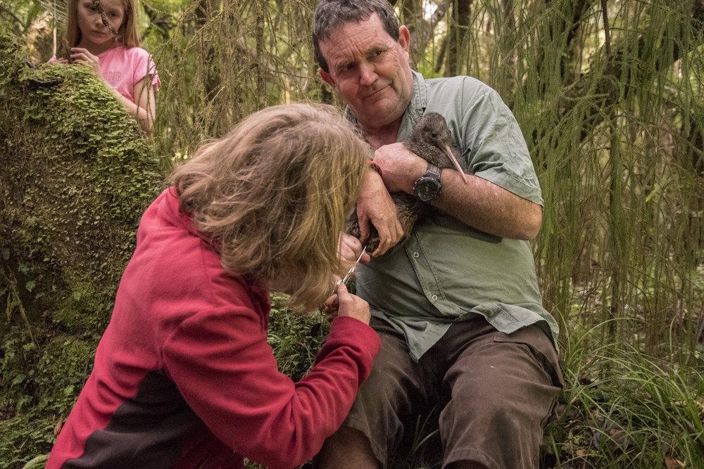 Removing the radio tracker from kiwi
