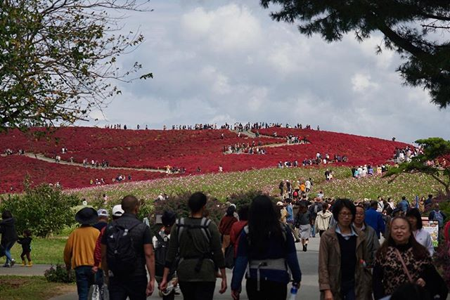 HITACHI SEASIDE PARK, JAPAN: for one week in mid october this hillside of kochia changes from green to red. people flock to this sea side town to enjoy autumn. an hour and a half train ride from tokyo, this place is definitely worth a day trip. in the spring, the same hillside is covered in baby blue eyes. #webeJUNGin