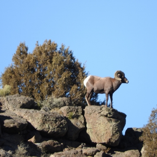 Kent - Big Horn Sheep.JPG