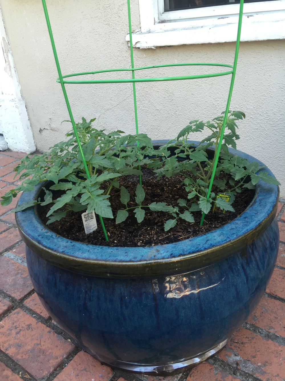 Tomatoes (planted them 10 days ago) Our first try at urban food gardening!