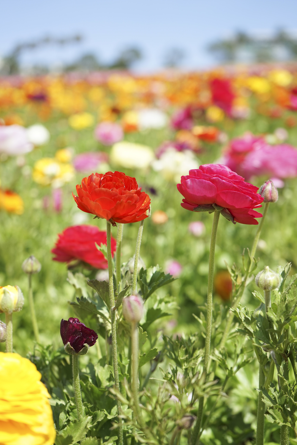 Flower_Fields_002.jpg