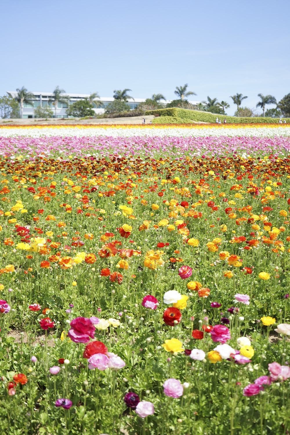 Flower_Fields_001.jpg