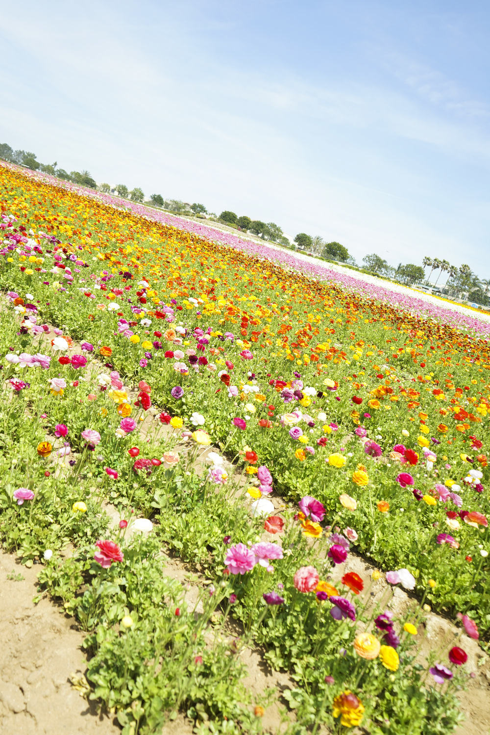 Flower_Fields_004.jpg