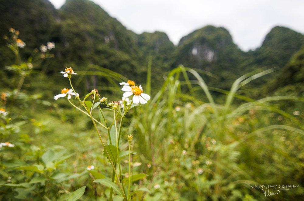 Vietnamcatbaflower (1 of 1).jpg