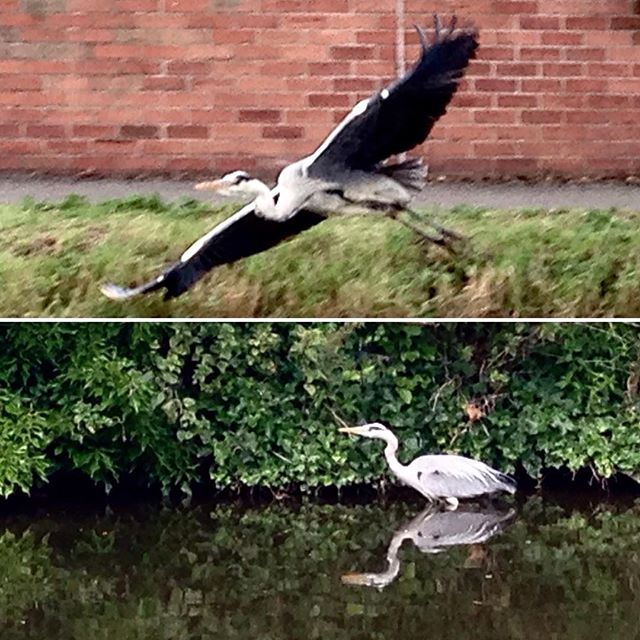 "Quick photos of the heron by the canal.  The Nottingham-Beeston Canal is really pretty – yet simple. A #historic waterway created as a ""shortcut"" from the Trent to pass into the Nottingham centre, it is flanked by a pedestrian and cycle only path along its course. Going west from #Nottingham, it gets flanked by more and more trees the more you walk away from the city. Eventually you feel as if you were in the middle of the countryside. There are many little animals, mostly birds, that healthily live along the canal thanks to the @canalrivertrust , a #charity who takes care of this and the other 2000miles of canals in #England and #Wales. One of the birds is this blue heron. I don't usually see him here, but it was nice seeing him by the Castle Marina few days in a row. @mynottingham @visitengland @lovegreatbritain #walking #uk #water #canal #nature #urban #heron #acqua #animali #natura #camminare #greatbritain #inghilterra #run #camminare #verde #matustuds #sonderon #dreamschest"