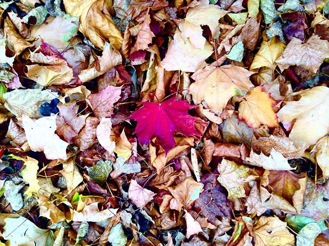 Be different. . . . #bedifferent #beunique #dreamschest #sonderon #walking #camminare #freerangeactive #leafs #autumn #colors #red #contrast #photooftheday #nature #composition #pattern