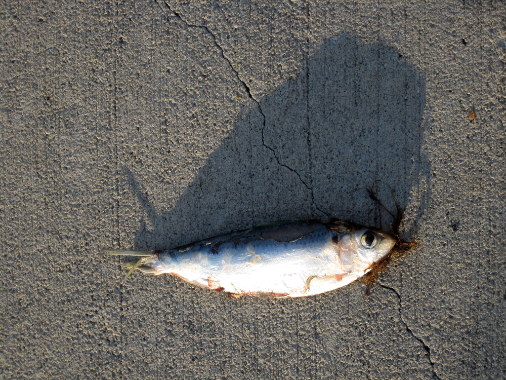"Fish on Pavement (Miami, FL.), 2008. From the series ""Found Objects""."