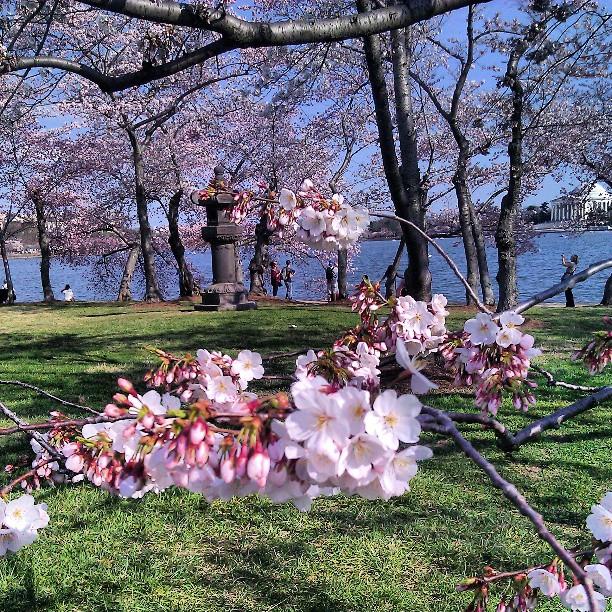 #cherry #blossom #season Yay!! #washingtondc #tidalbasin