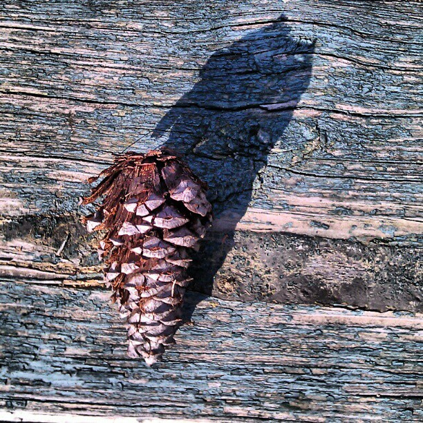 Can you guess what time it is?? #Shadow #time #afternoon #fall #nature #pinecone