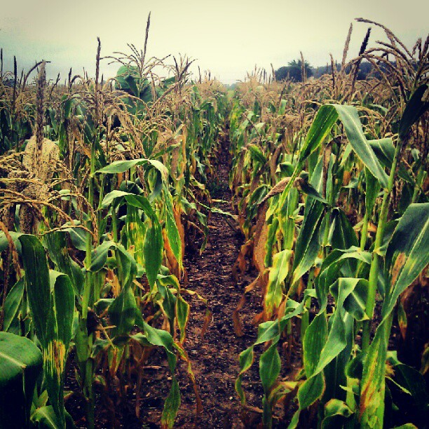 Workin in the #cornfields! (Taken with  Instagram )