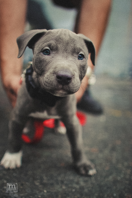 I think I want a pitbull whenever I get to adopt a pet. Cuteness!    its177aricel :     Blue Pit puppy I saw while in NY | Long Island City 5 Ptz   Photo:  Msison.com