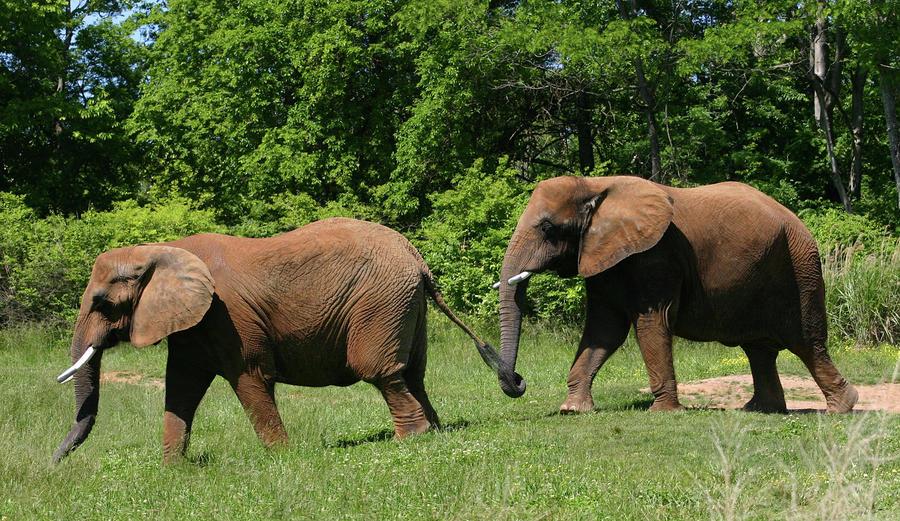 elephants following