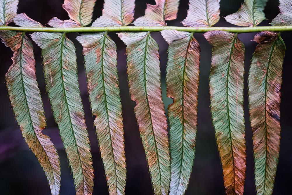 Last year's fern