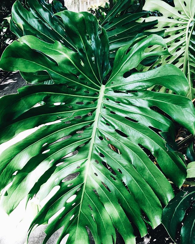 monstera-leaves.jpg