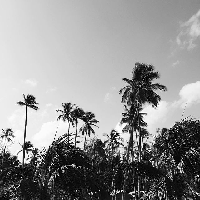 palm-trees-barbados.jpg