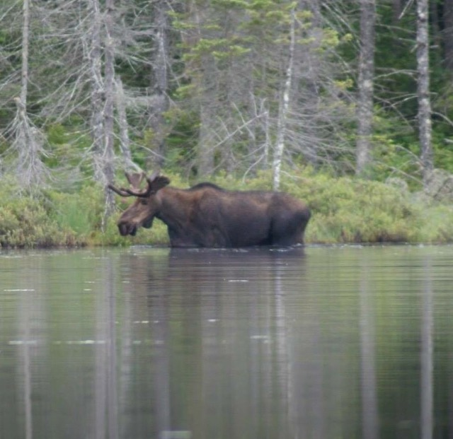 Here's the Helldiver Bull Moose! Affectionately known as Harold to a few.  💕 It was such a treat to observe him for over an hour! I have seen moose before but never this intimately! My camera is Sony alpha DSLR with 300 zoom lens, not professional but decent. He was very far but captured the best shots just before he got out directly across from the dock.