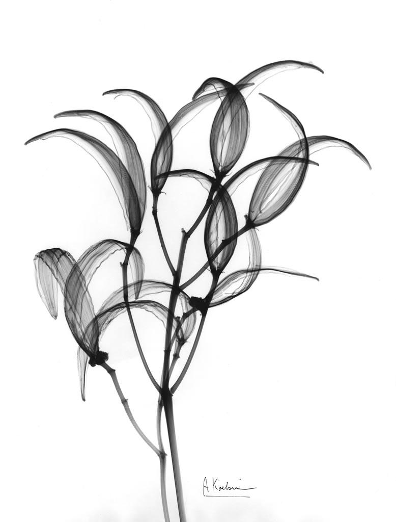 Oleander Bush Seedpods X22