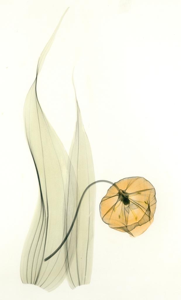 Sandersonia H51 Color