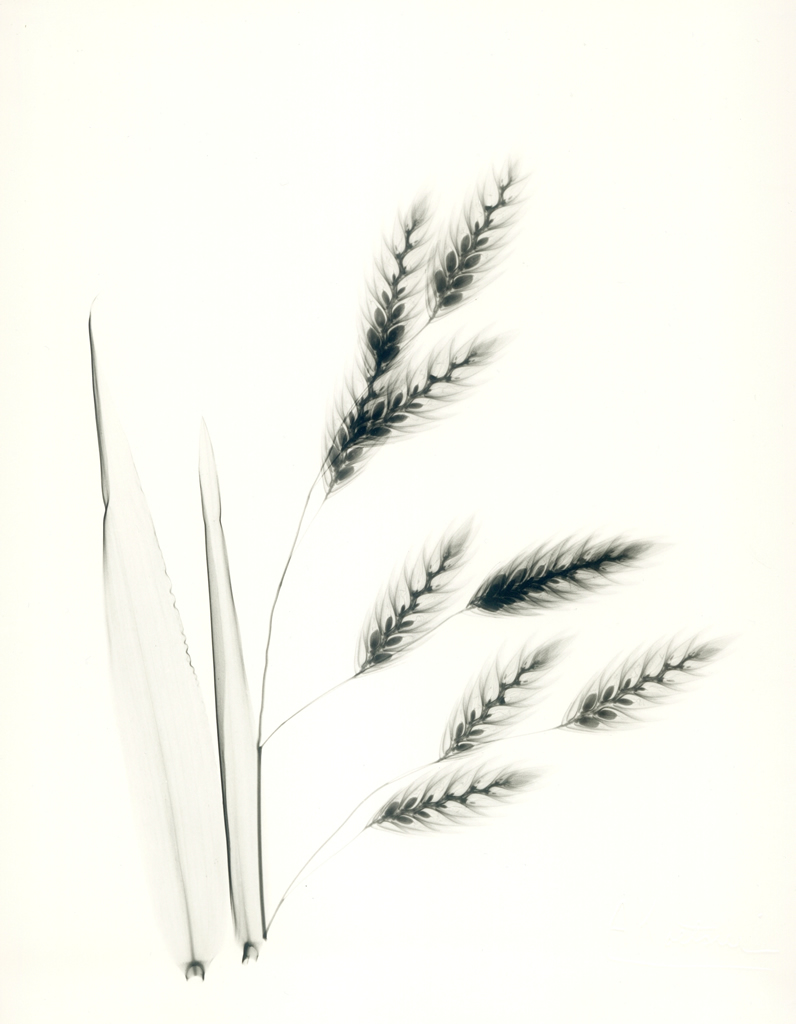 Northern Sea Oats E146