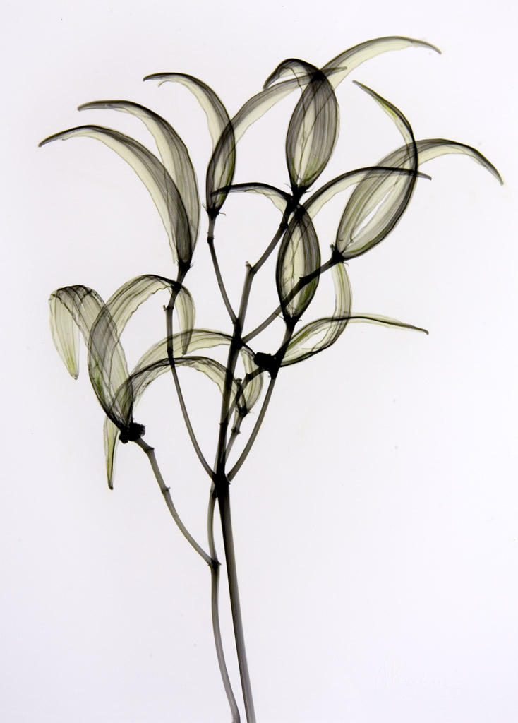 Oleander Seedpods L335