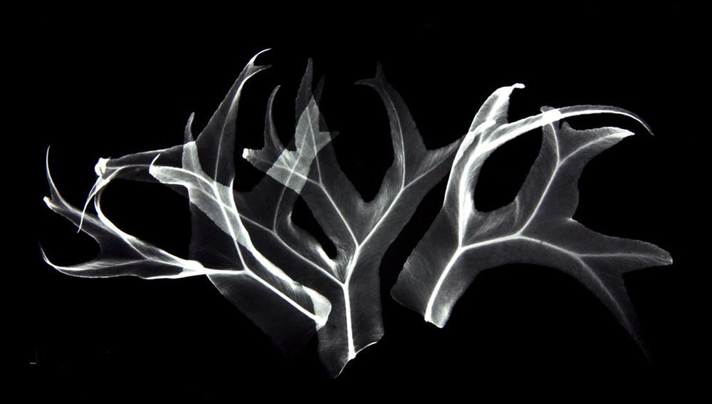 Deer Fern SE26