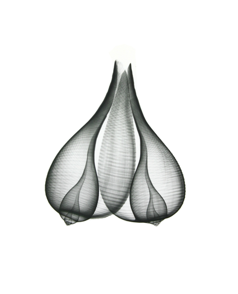 Fig Shells F153