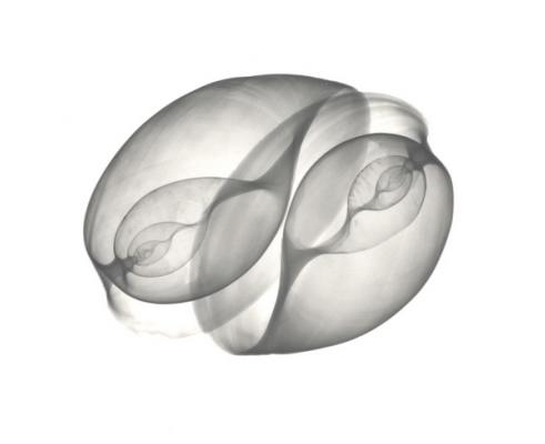 Bulla Shells F130