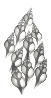 Tulip Shells F89