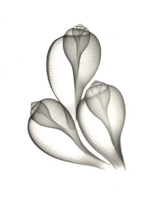 Fig Shells F120