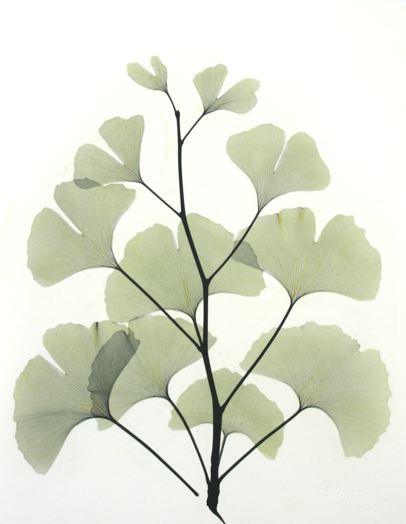 Ginkgo L183 Color